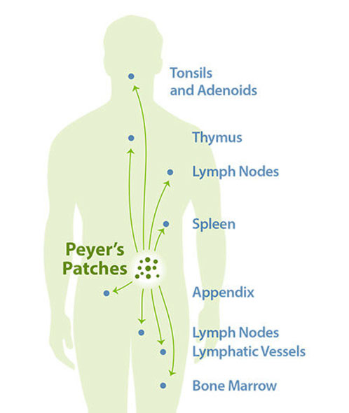 Peyer's Patches